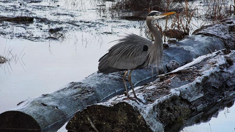 Waterbird Wonderland - Sturgeon Banks King Tide