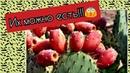 Съедобные кактусы Как есть опунцию кактус фига Можно ли есть кактусы Какие кактусы на вкус