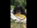 Просто шимпанзе ест папайю