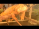игуана вова и диджей калид эндрю стар