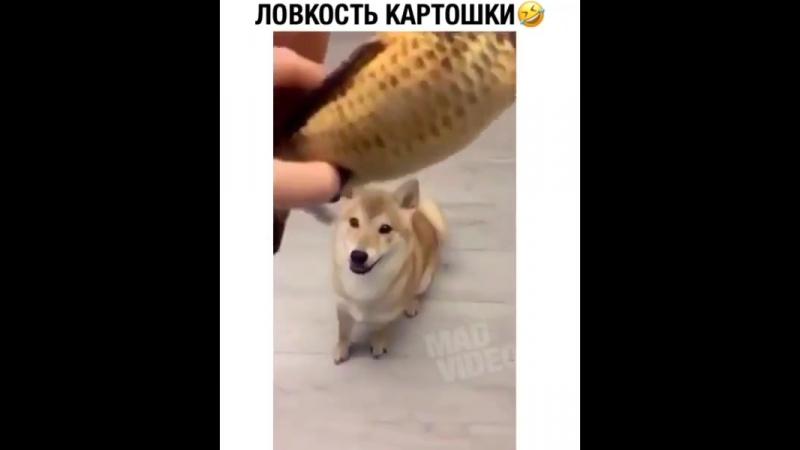 Ловкость у этого пса в крови