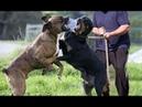 Rottweiler VS Cane Corso