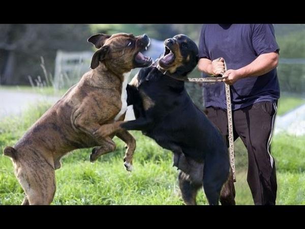 Rottweiler VS Cane Corso » Freewka.com - Смотреть онлайн в хорощем качестве