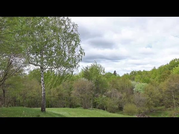 Sound of Birch Tree Swaying in the Wind 1 Hour Relaxing Sound of Wind and Birds Singing