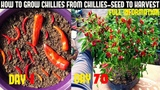 How To Grow Chillies At Home100+ chillies per plantSeed To Harvest