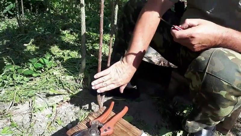 Окулировка (прививка) плодовых деревьев методом щитком в приклад