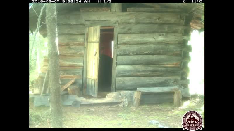 Bear robs a hut