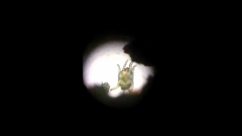 9 секунд жизни клещей Otodectes cynotis