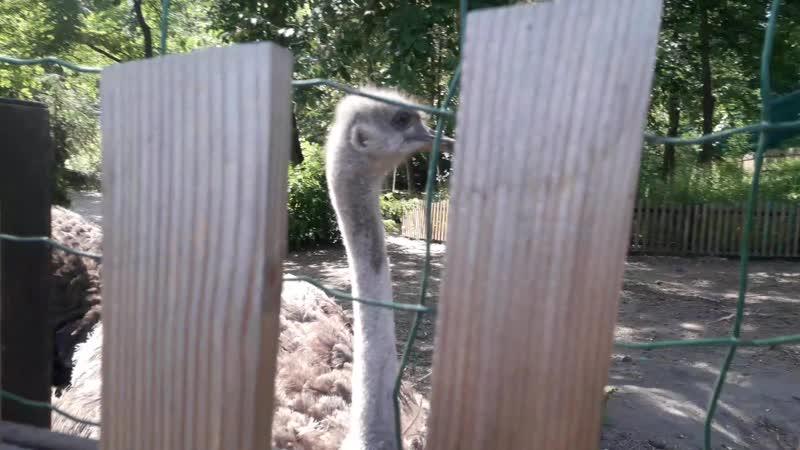 страусы и стыд