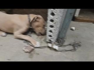 My dog- Tays ))))) american pitbull terrier/////Американский питбуль терьер