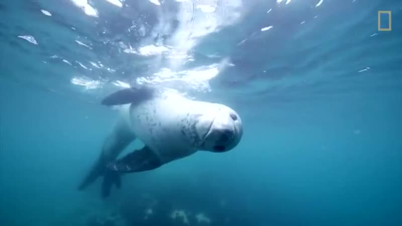 Leopard Seals Play and Hunt in Antarctica - National Geographic.mp4