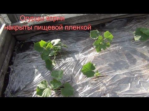 Огурцы 4 июля накрываем корни пищевой пленкой для экономного полива и исправления кислотности воды
