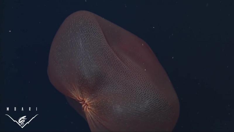 Меду́за лат. Deepstaria_reticulum
