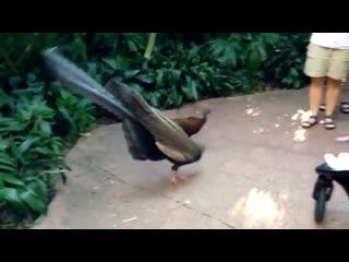 Брачный танец фазана