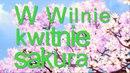 Japońska sakura kwitnie w Wilnie