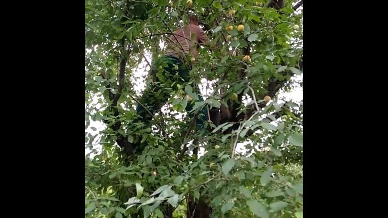 Новопавловск, алычу отбираем у дерева,.для ткемали