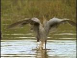 BBC.The_Life_of_Birds_05