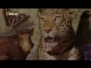 В поисках людоеда. Леопарды убийцы