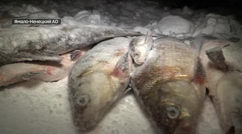 Вести Ru От Карского моря до столичного ресторана Дежурная часть проследила путь незаконно добытой рыбы