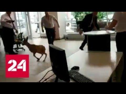 Олененок устроил переполох в московском автосалоне - Россия 24