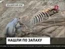 Сенсационная находка на Таймыре рассказала о мамонтах много нового