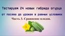 24 гибрида огурца в 1 теплице Первые плоды и их сравнение Часть 3