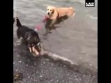 Затаскивает в море другую собаку