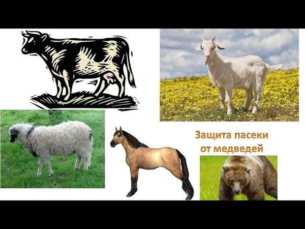 Откорм бычков российский электропастух