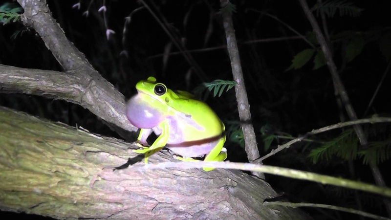 Пастушья квакша / Hyla cinerea / Green Tree Frog calling