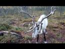Очень опасный олень