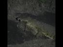Леопард стал жертвой крокодила