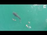 Самая большая акула купается
