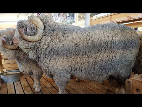 Стрим с Всероссийской выставки племенных овец. Астрахань. 17.05.2018 в 1000 МСК