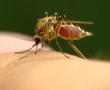 Укусы постельных клопов обычно путают с укусами комаров