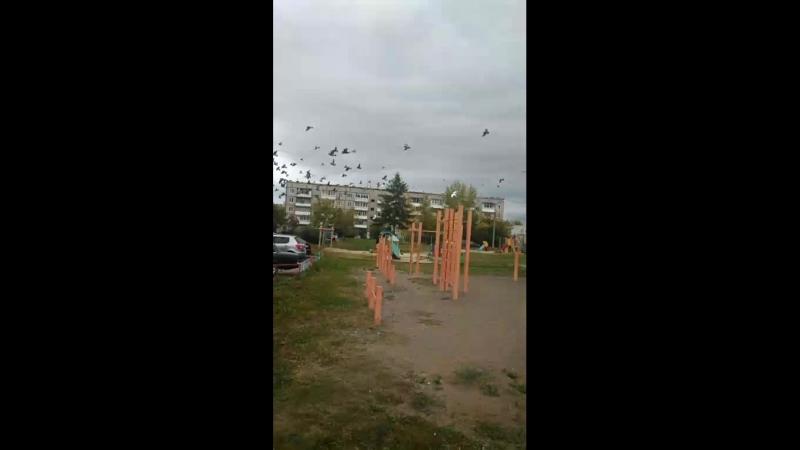гречки голубей
