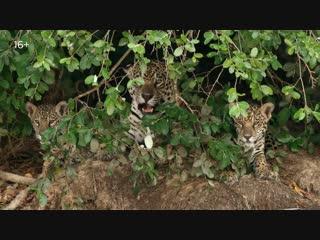 Леопард natgeo wild