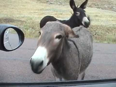 Naughty Almost Mating Donkey