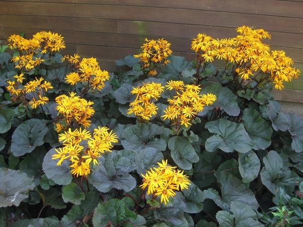БУЗУЛЬНИК Бузульники представляют собой декоративные растения, которые ценятся садоводами за элегантный крупный куст и обильное цветение. Мощные соцветия бузульников, порой достигающие роста