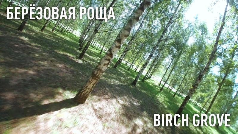 Birch Grove Березовая роща