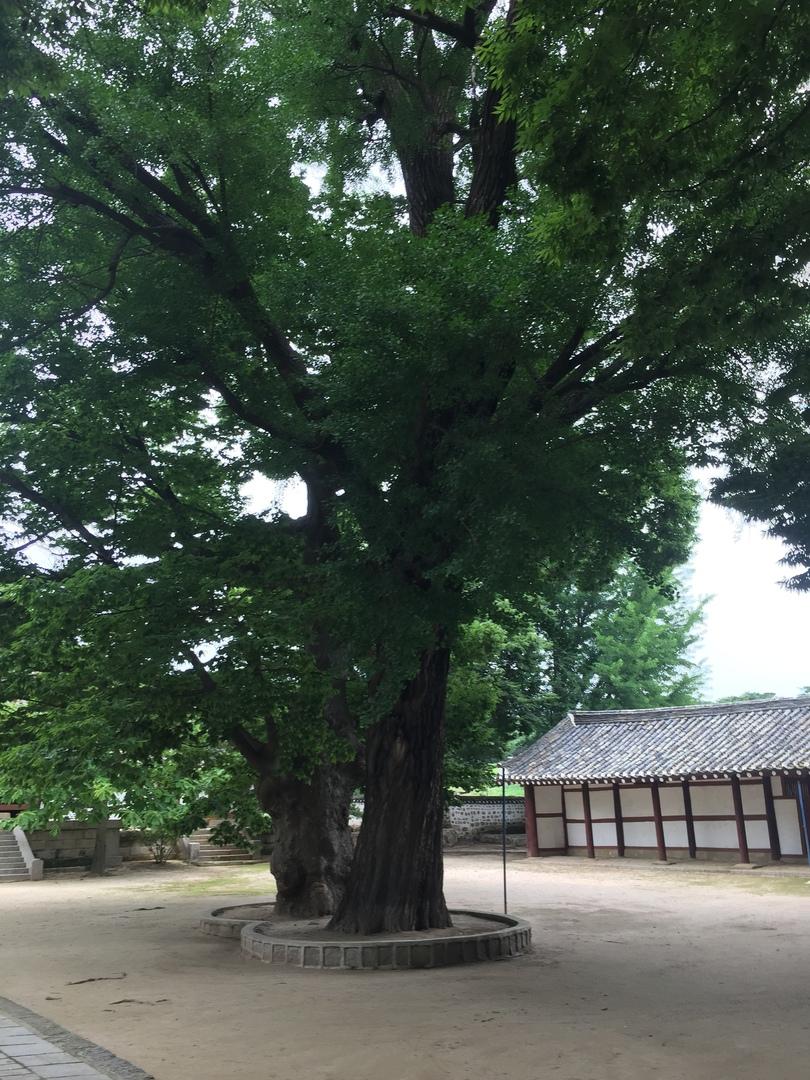 Отчет о путешествии в Северную Корею 2018. Древние деревья