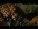 Леопард против гиены