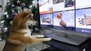 Ичи на охоте Шиба ину охотится на телевизор the dog is hunting for TV