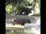 Отшлёпал бегемота