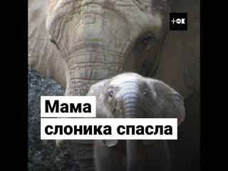 Мама спасла унесенного течением слоненка