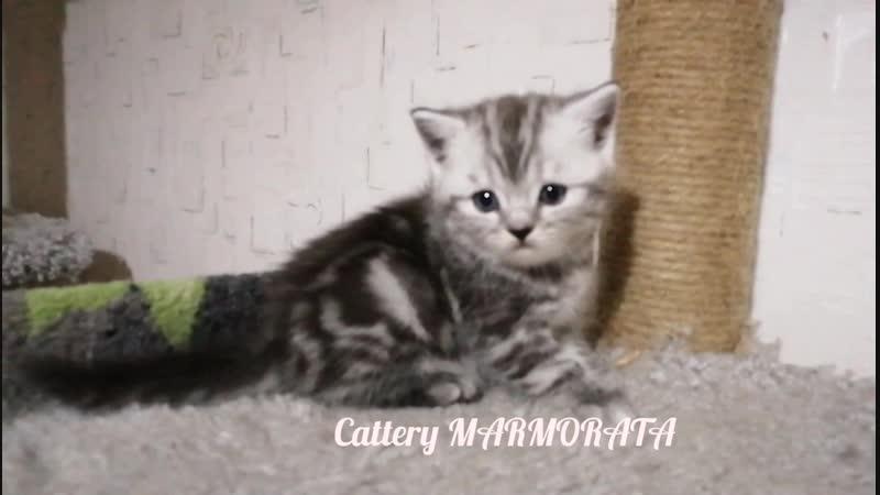 ❗Archie Moor de Marmorata  ❗Открыт РЕЗЕРВ на котят  ❗FOR SALE! ❗Litter A MARMORATA  ❗г. Ижевск  ❗male BRI ns 22  ❗DOB 31.10.20