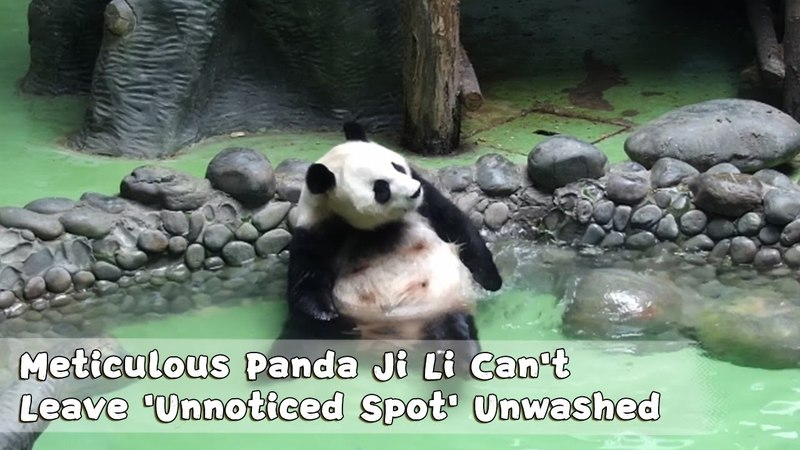 Meticulous Panda Ji Li Can't Leave 'Unnoticed Spot' Unwashed   iPanda