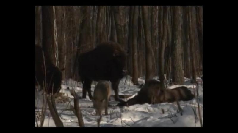 волки против зубров ( Чернобыльская зона )