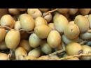 التعريف برطب نخلة البرحي أصله من العراق وأنتشر في مناطق زراعة النخيل م منصور المحمدي