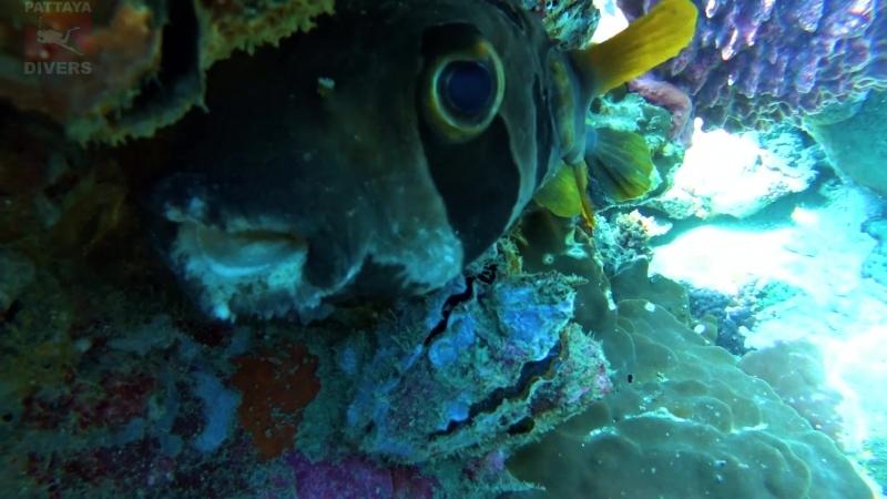 Рыба-ёж прячется под скалой Хин-Лак-Бат | Дайвинг на Ко-Чанге, Таиланд