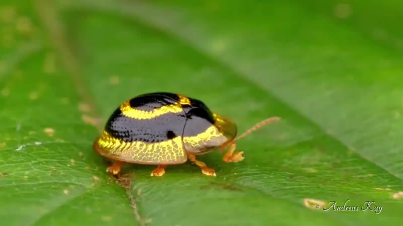 🔥 Golden Target Tortoise Beetle